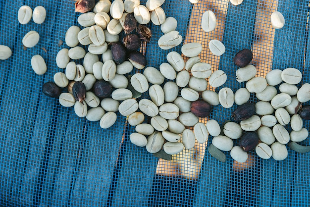 Top view of sun dried arabica coffee beans on blue net with copy space