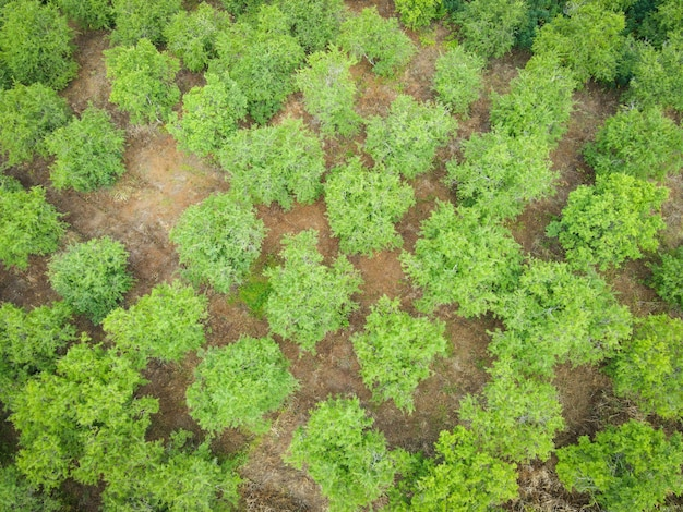 Top view tamarind tree from above of crops in green, birds eye view tree
