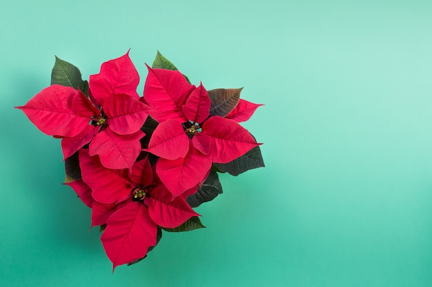 Top view of three christmas red poinsettia flower pots on minty green surface