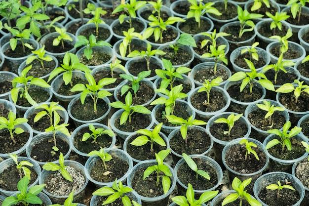 温室のコショウ苗の平面図