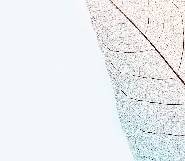 Top view of transparent leaf lamina