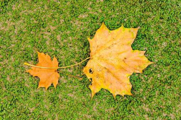 Top view of two dried yellow leaves on the ground in the park