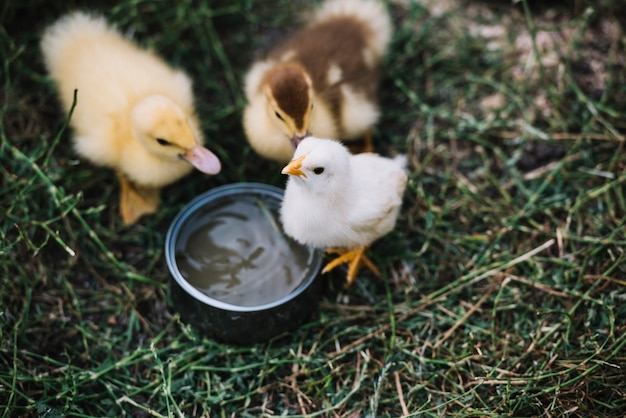 Top view of two ducklings with white chicks drinking water from bowl
