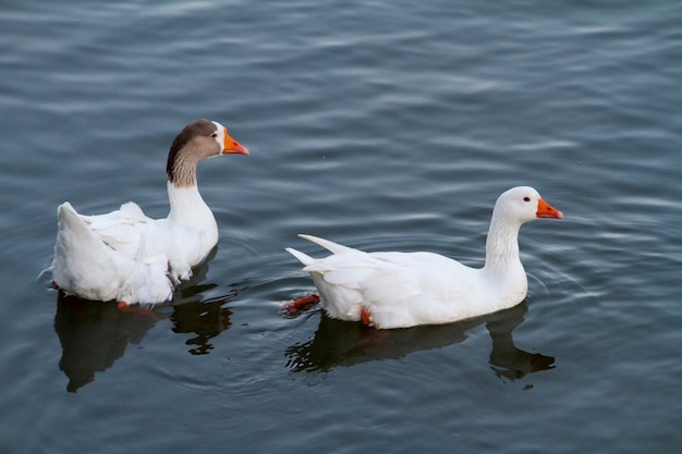 Top view of two white ducks swimming on a pond.