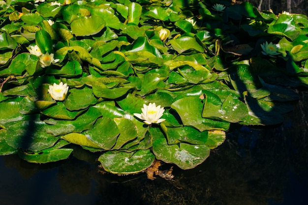Top view of water lilies with white flowers in a pond in japan.