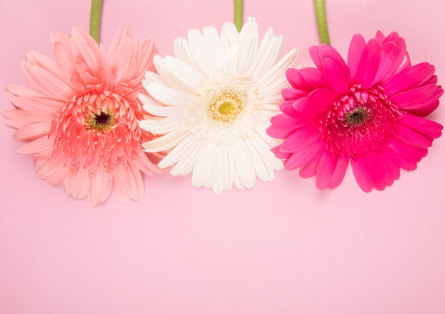 Top view of white pink and fuchsia color gerbera flowers isolated on pink background with copy space