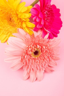 Top view of yellow pink and fuchsia color gerbera flowers isolated on pink background
