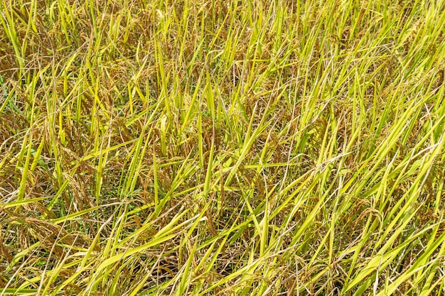 Top view yellow rice field background
