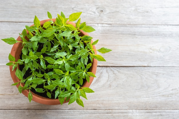 Top view young fresh thai chilli tree in garden pot on wooden plank