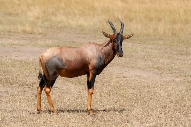 케냐 마사이 마라 보호 구역의 토피 영양 (damaliscus lunatus)