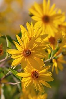 정원에서 topinambour 꽃.