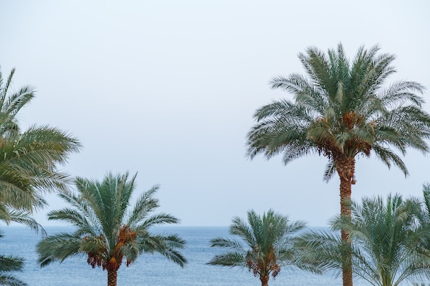 Tops of date palms with fruits against a light sky.