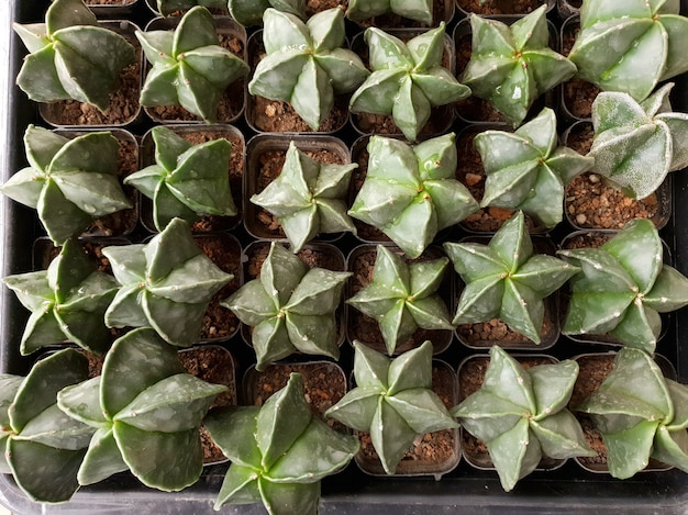Topview bishops cap cactus astrophytum myriostigma на кактусовой ферме