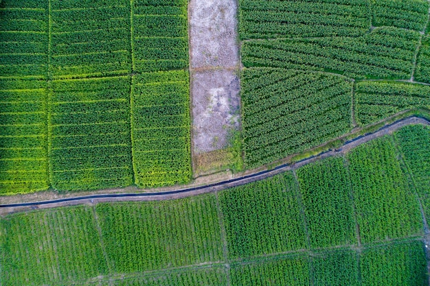 Topview corn farm with little canal in the middle