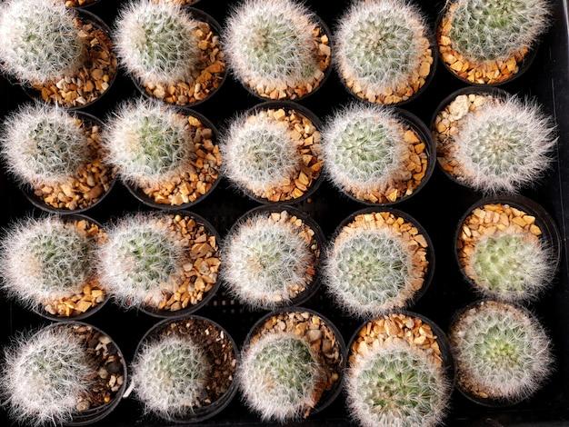 선인장 농장에서 topview mammillaria 보카사나 포젤