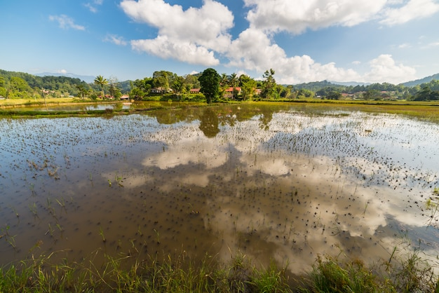 トラジャの風景、水田