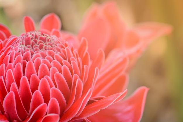 トーチショウガ花弁ピンクの花