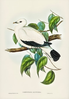 Torres strait fruit pigeon (carpophaga luctuosa) illustrated by elizabeth gould