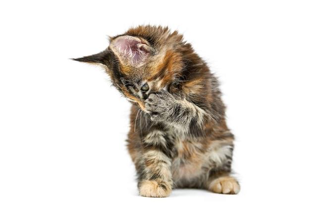 べっ甲メインクーン子猫、孤立。白い背景の上のかわいいメインクーン猫