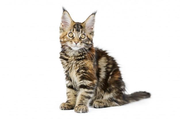 分離されたべっ甲メインクーンの子猫
