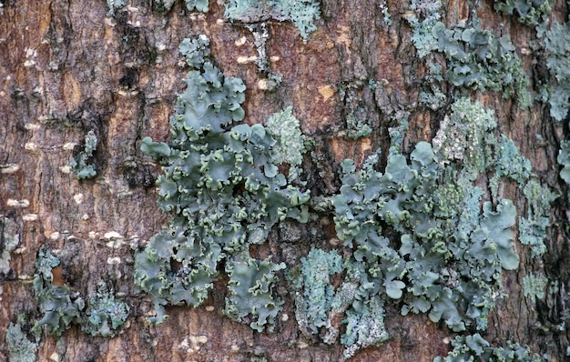 Tosca green mushrooms on tree trunks.