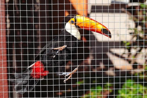 Птица тукан сидит на ветке в клетке. большой тукан в тропическом лесу. удивительный тукан сидит на ветке дерева