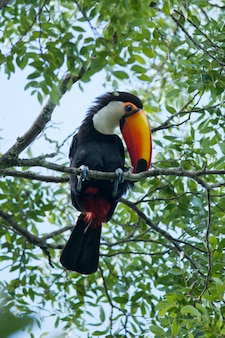 Toucan on a branch