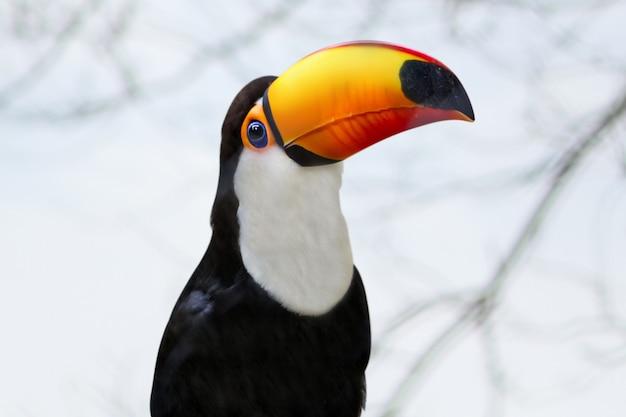 Toucan close up