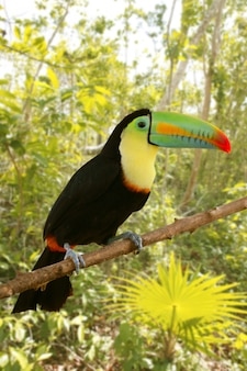 Toucan keeはtamphastos sulfuratusジャングルを請求しました