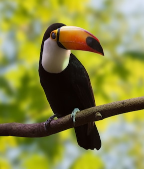 Toucan   over nature background