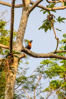 Toucan on top of a tree in rio de janeiro.