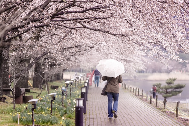 Tourism walking on cherry blossom path at lake kawaguchi