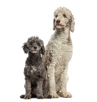 Tow poodles and sitting, isolated on white