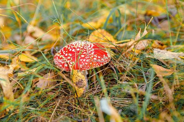 有毒な幻覚剤キノコベニテングタケと秋の森の草の黄色の葉。赤い有毒なベニテングタケ菌マクロが自然環境にクローズアップ。心に強く訴える自然の秋の風景。