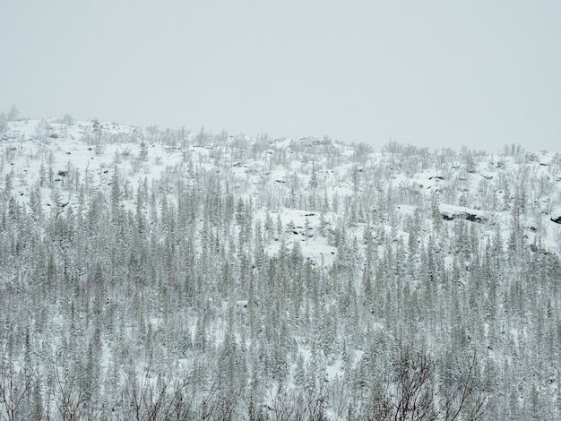 Toxic winter forest on a hill near the metallurgical plant in monchegorsk in russia.