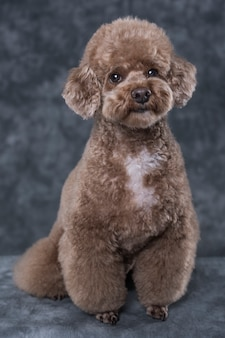 Toy poodle apricot portrait in studio with gray background.