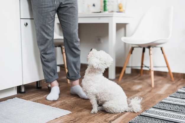 Toy poodle looking at woman in living room