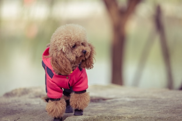 Toy poodle playing in a park
