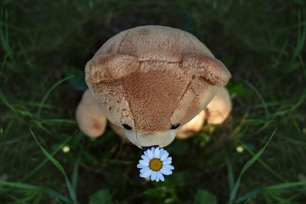 おもちゃのテディベアがデイジーの花を嗅ぐポストカード