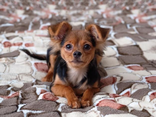おもちゃのテリア、クローズアップ。ロシアのおもちゃテリア犬