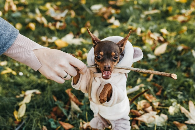 Toy terrier playing with a stick with his owner. terrier is biting the stick.