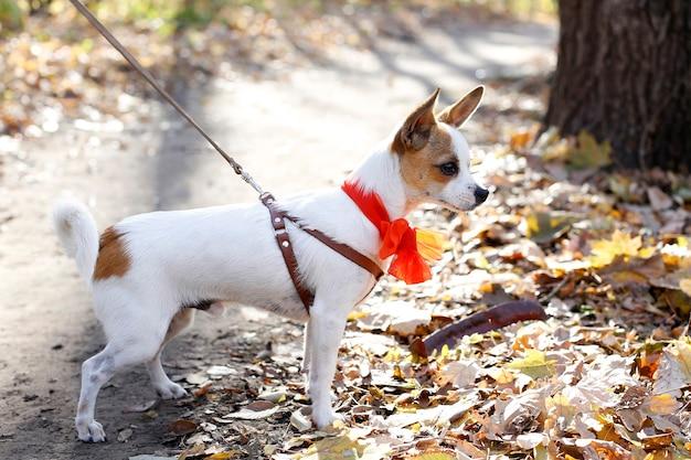 首輪、ひも、弓のウォーキンとおもちゃのテリアの子犬犬