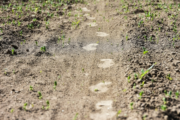 Traces of a mans feet on an agricultural field spoil young plants