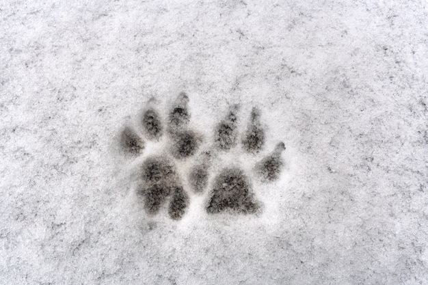 Traces of two dog paw on white background fresh snow