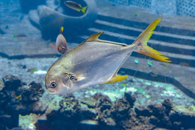 Trachinotus blochii или курносый помпано в атлантиде, санья, остров хайнань, китай .. помпаны - морские рыбы из рода trachinotus в семействе carangidae (более известные как «гнезда»).