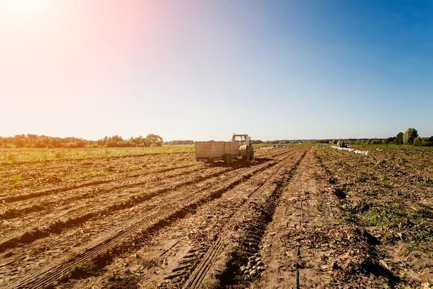 ビートの根の野外収穫のトラクター。