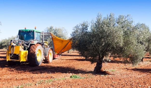 ブラックオリーブを収穫するトラクター