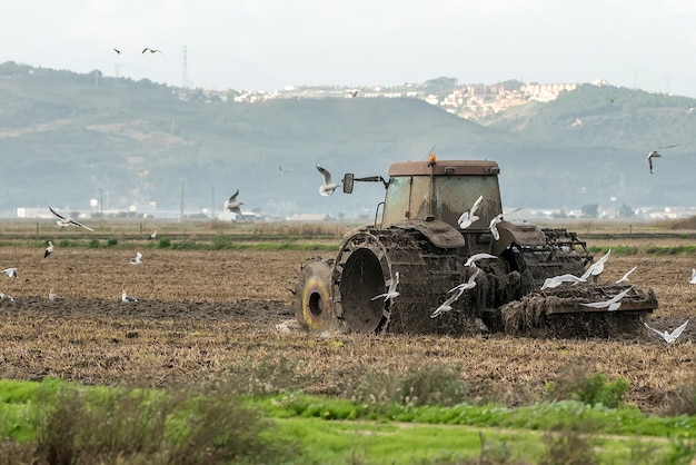 Tractor plowing rice field among birds
