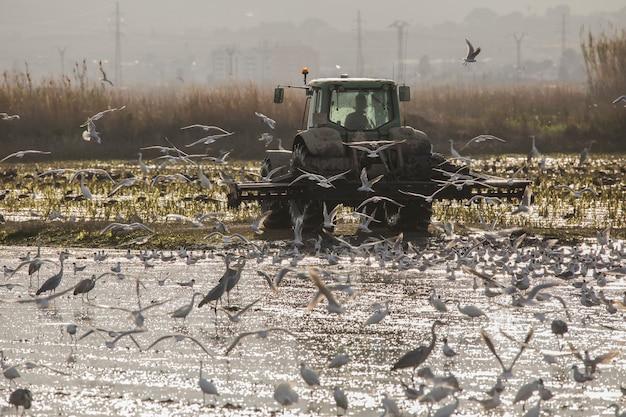 日没時のバレンシアのアルブフェラの田んぼを耕すトラクター。