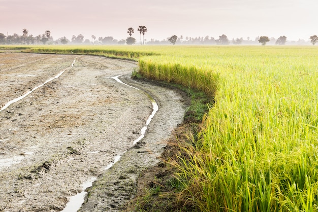 Tractor tracks in rice field